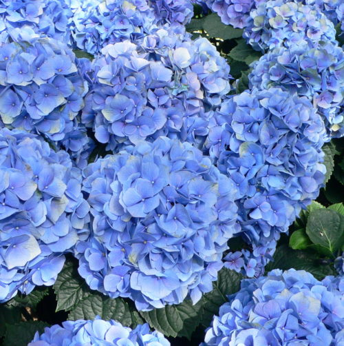 Hydrangea macrophylla 'Little Blue' - Hortensia