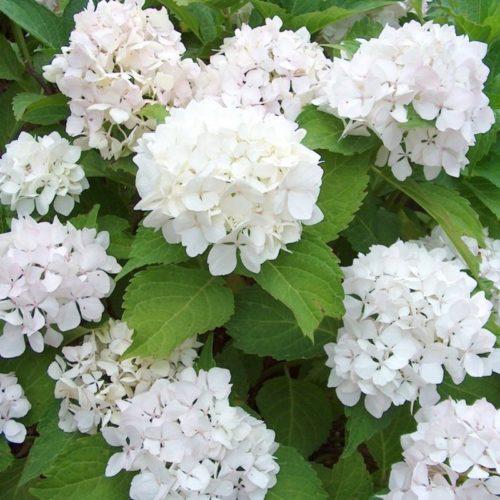 Hydrangea macrophylla 'Little White' - Hortensia