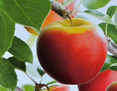 Malus 'Elstar' pot laagstam voorgeleid - appel