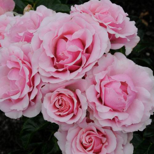 Rosa 'Evy' - Bodembedekkende roos