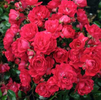 Rosa 'Fairy Queen' - Bodembeddekende roos
