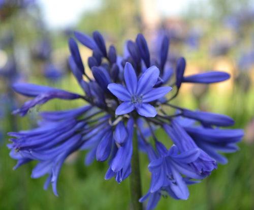 Agapanthus 'Midnight Blue' (grote pot) - Afrikaanse lelie, tuberoos