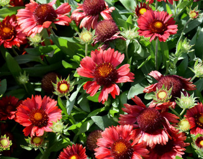 Gaillardia 'Mesa Red' (grote pot) - Kokardebloem