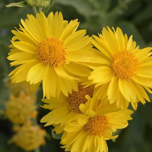 Gaillardia 'Mesa Yellow' (grote pot) - Kokardebloem