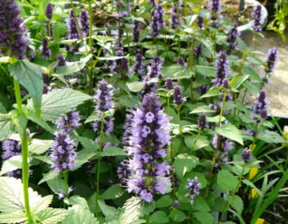 Agastache 'Little Adder' - Anijsplant, dropplant