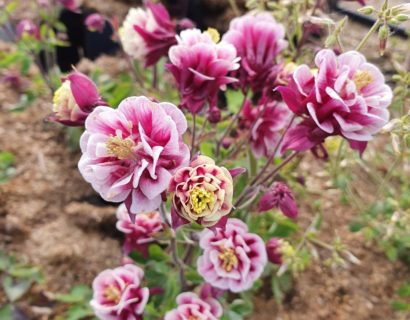 Aquilegia Winky Double Red and White - Akelei