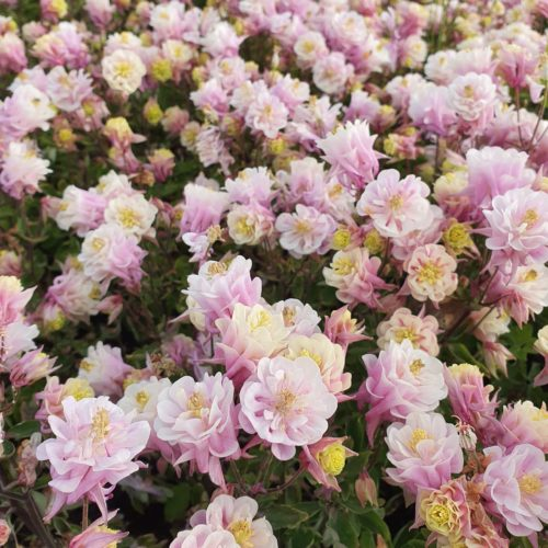 Aquilegia Winky Double Pink and White - Akelei