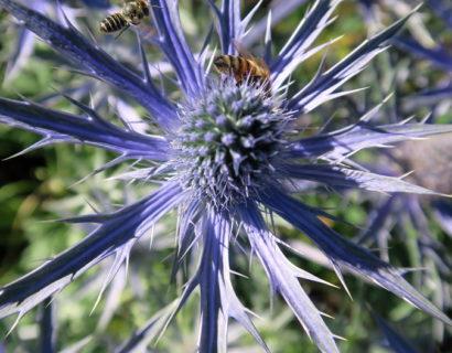 Eryngium 'Big Blue' (grote pot) - Kruisdistel
