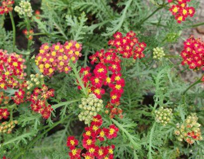 Achillea millefolium 'Milly Red Rock' (grote pot) - Duizendblad