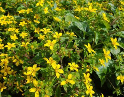 Chrysogonum virginianum (grote pot) - Goudster