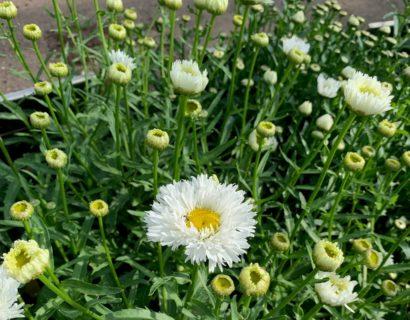 Leucanthemum (S) 'Laspider' - Margriet
