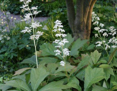 Rodgersia podophylla 'Braunlaub' (grote pot) - Schout-bij-nacht