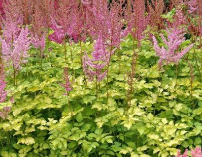 Astilbe 'Color Flash Lime' - Pluimspirea