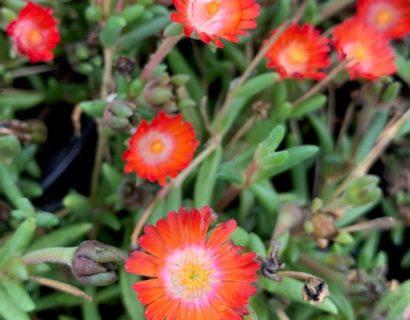 Delosperma cooperii 'Grenade' (grote pot) - Ijsbloem