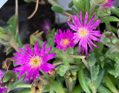 Delosperma Wheels of Wonder 'Hot Pink' (grote pot) - Ijsbloem