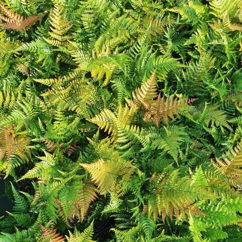Dryopteris erythrosora 'Prolifica' - Rode Sluiervaren