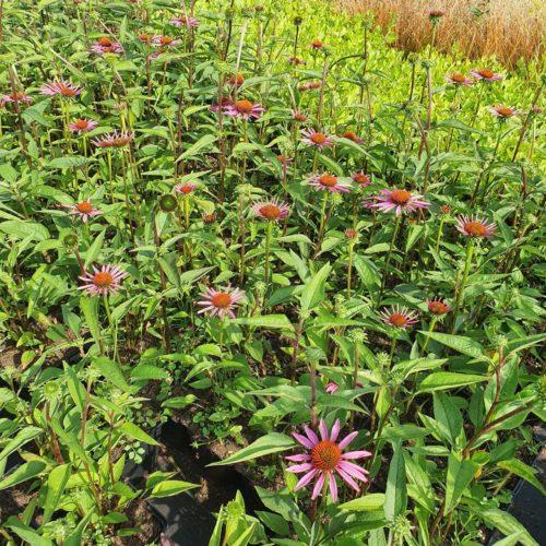 Echinacea purpurea 'Pica Bella' - Zonnehoed