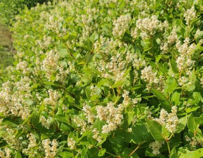 Persicaria hybride 'Kahil' - Duizendknoop