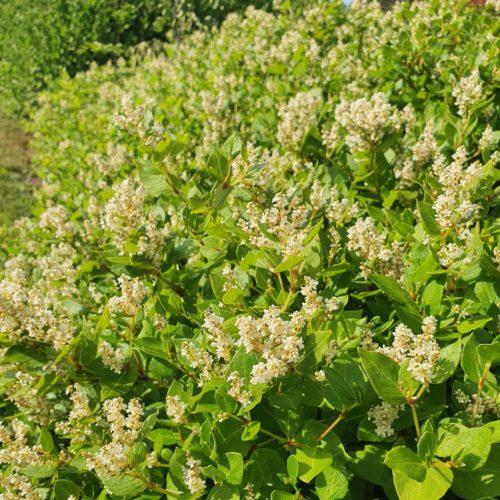 Persicaria 'Kahil' pot 11 cm