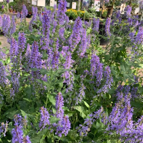 Salvia nemerosa 'Blauhügel' - Salie