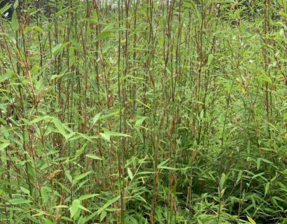 Fargesia denudata 'Xian 2' 175/200 cm - Bamboe