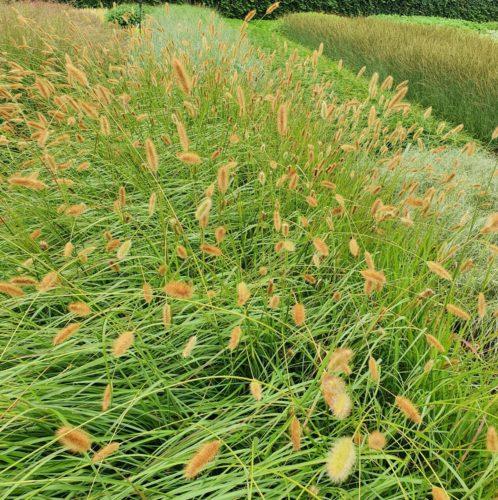 Pennisetum 'Red Bunny Tails' - Lampenpoetsersgras
