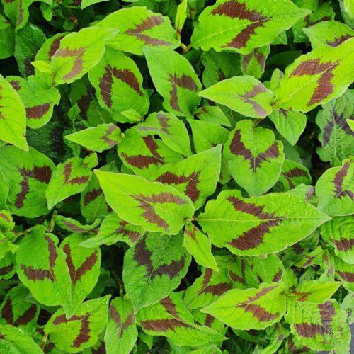 Persicaria filiformis - Duizendknoop