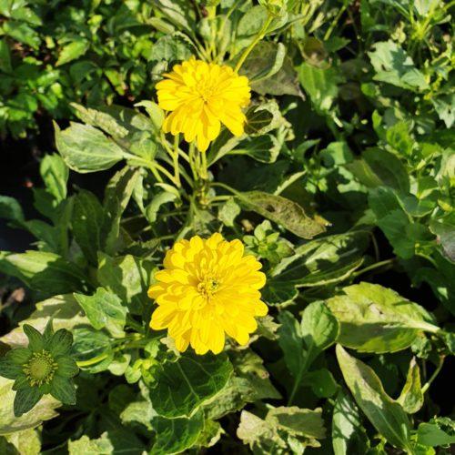 Rudbeckia laciniata 'Goldquelle' - Zonnehoed