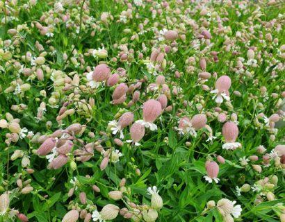 Silene vulgaris - Blaassilene