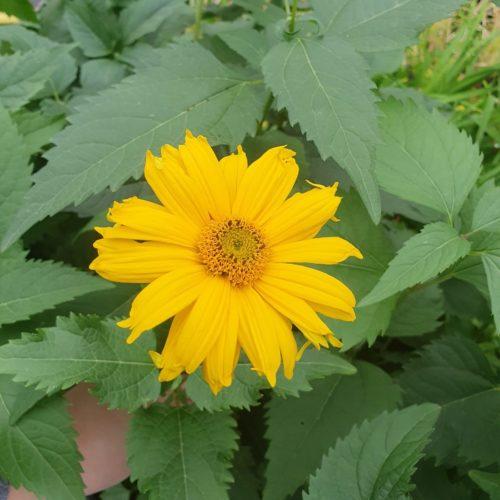 Heliopsis helianthoides 'Summer Sun' - Zonneogen