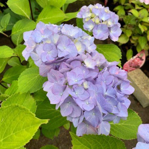 Hydrangea macrophylla 'Blacksteel Blue' - Hortensia