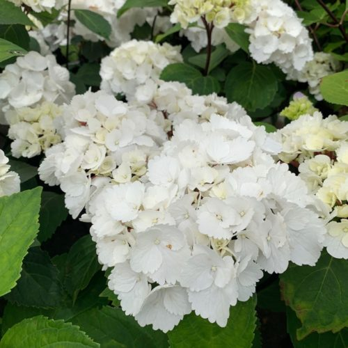 Hydrangea macrophylla 'Blacksteel White' - Hortensia