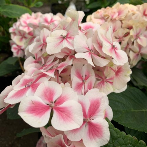 Hydrangea macrophylla 'Dali' - Hortensia