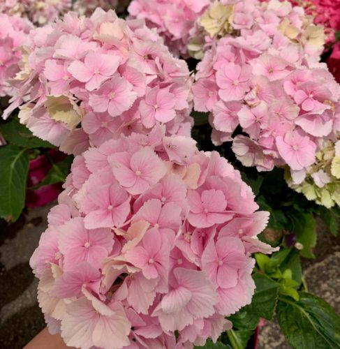 Hydrangea macrophylla EVERBLOOM 'Pink Wonder' - Hortensia