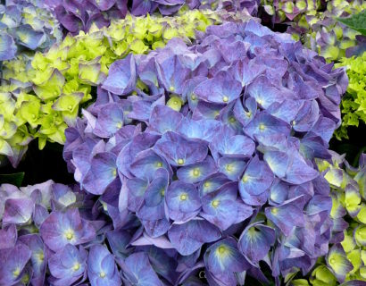 Hydrangea Endless Summer 'Summer Love' paars