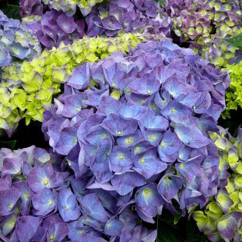 Hydrangea Endless Summer 'Summer Love' paars - Hortensia