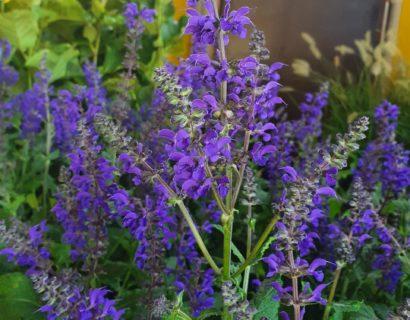 Salvia nemerosa 'Viola Klose' (grote pot) - Salie