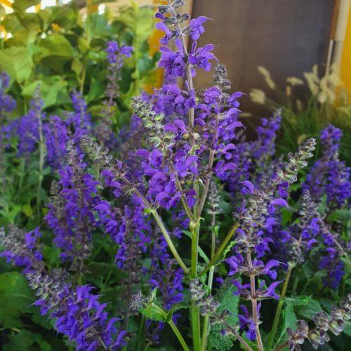 Salvia nemerosa 'Viola Klose' pot 2 liter