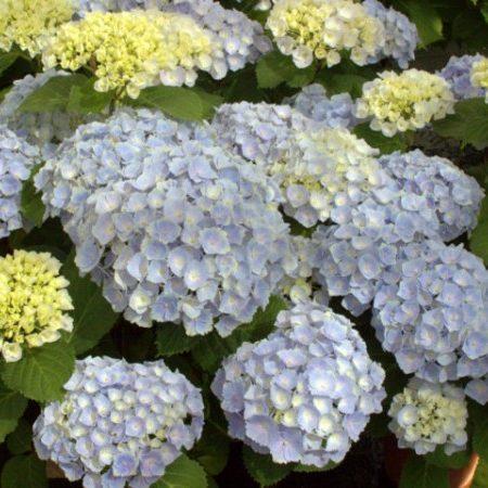 Hydrangea macrophylla EVERBLOOM 'Blue Wonder' - Hortensia