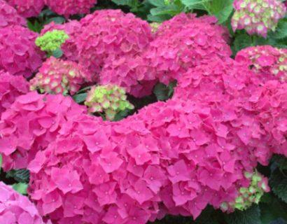 Hydrangea macrophylla EVERBLOOM 'Red Wonder' - Hortensia