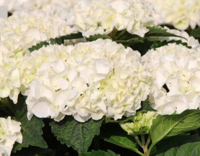 Hydrangea macrophylla EVERBLOOM 'White Wonder' - Hortensia