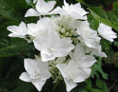 Hydrangea macrophylla 'Coco' - Hortensia