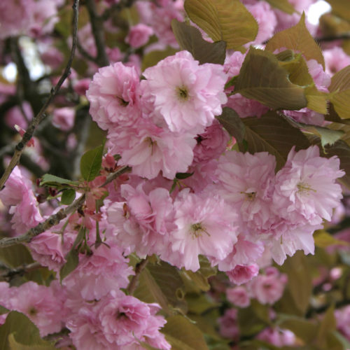 Prunus serrula meerstammig - Japanse sierkers