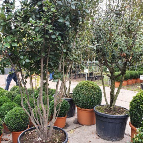 Quercus ilex meerstammig - Steeneik