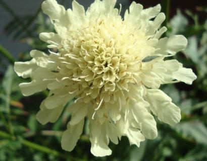 Cephalaria gigantea (grote pot) - Schoepkruid