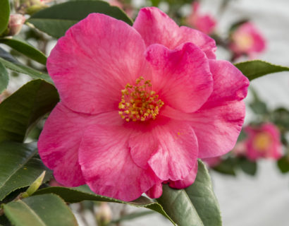 Camellia ret. 'Crimson Candles' - Camellia