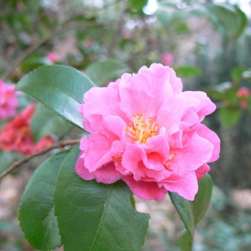 Camellia jap. 'Fragrant Pink' - Camellia