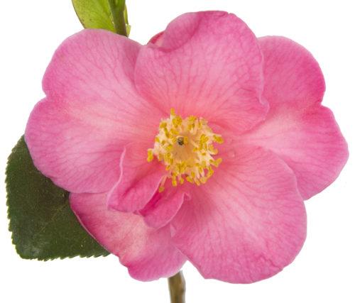 Camellia jap. 'Winter Perfume Pink' - Camellia