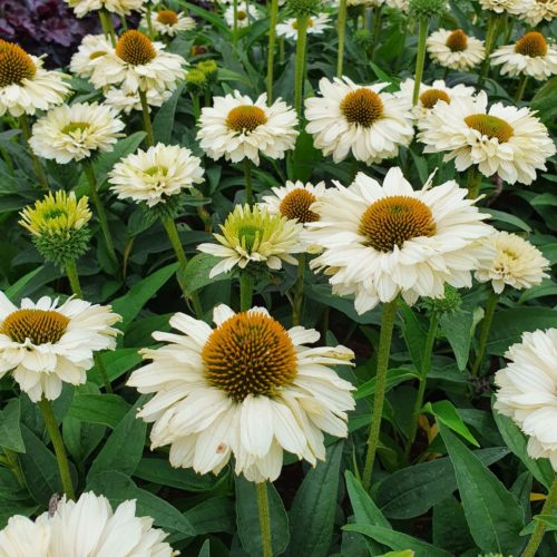 Echinacea 'Sunseekers White' (grote pot) - Zonnehoed