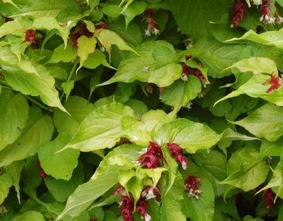 Leycesteria formosa 'Golden Lanterns' - Fazantenbes, caramelbes